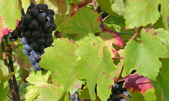 Lelièvre Pinot <br/>Noir – AOP <br/>Côtes de Toul