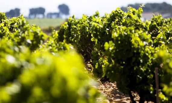 Cicada<br/>Vin de France